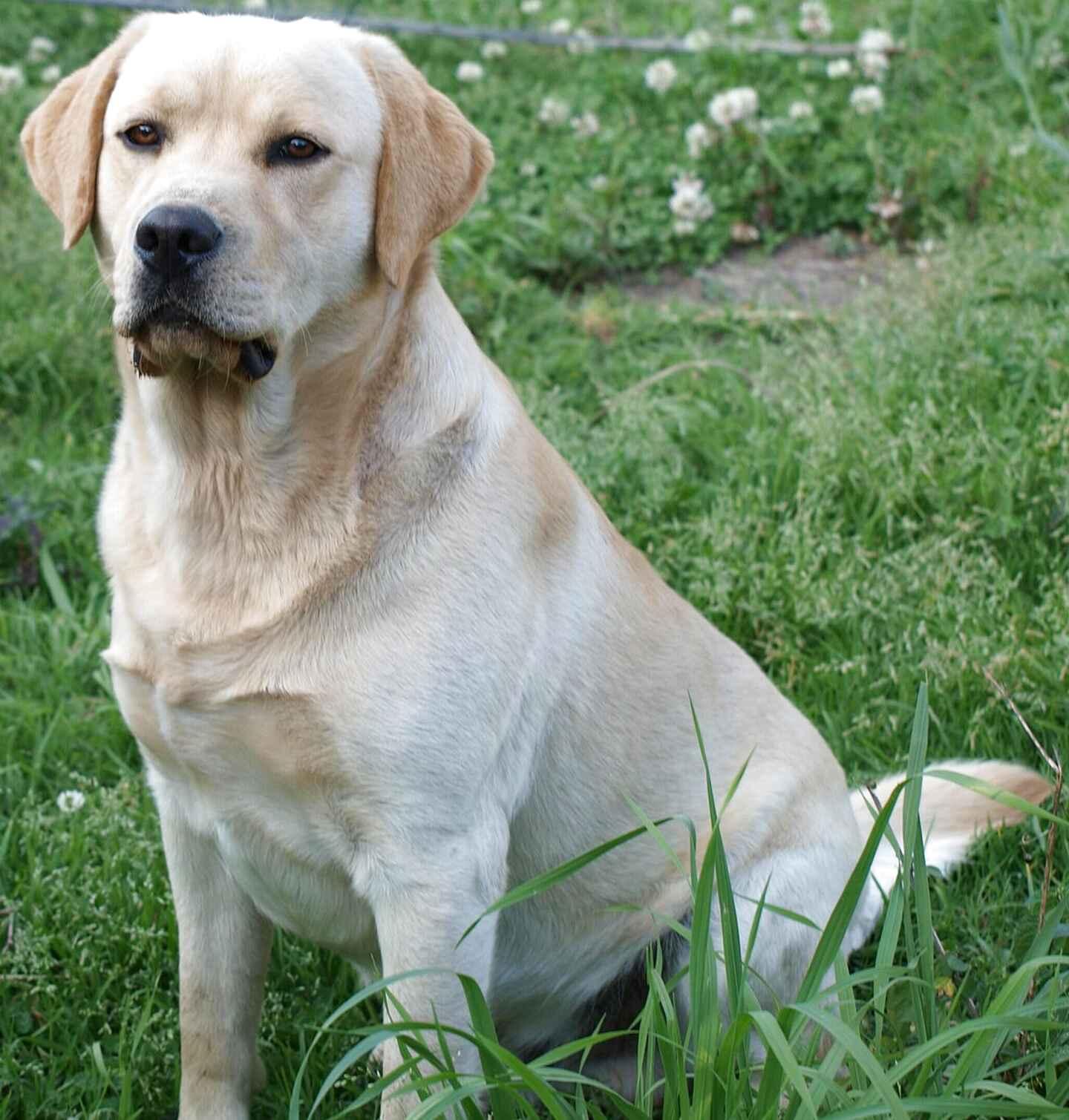 labrador dogs for sale