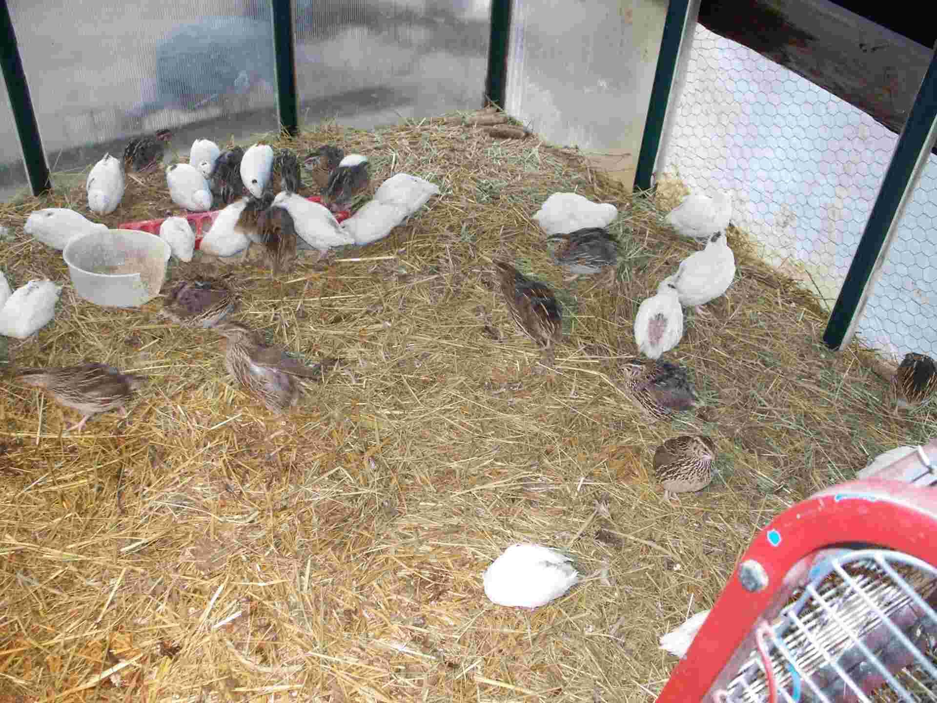 quail aviary for sale