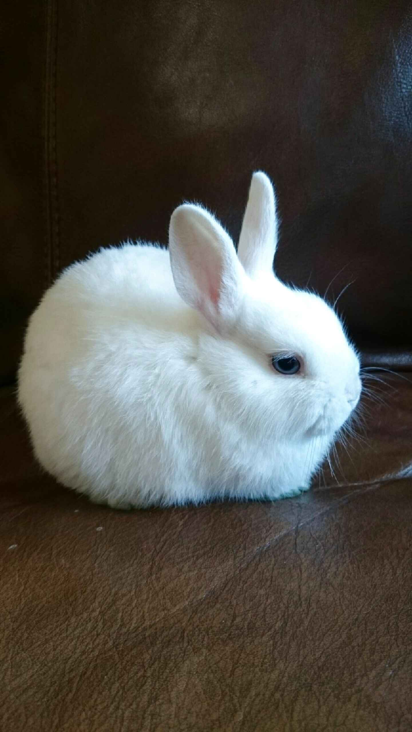 Dwarf Rabbits for sale in UK | 45 used Dwarf Rabbits