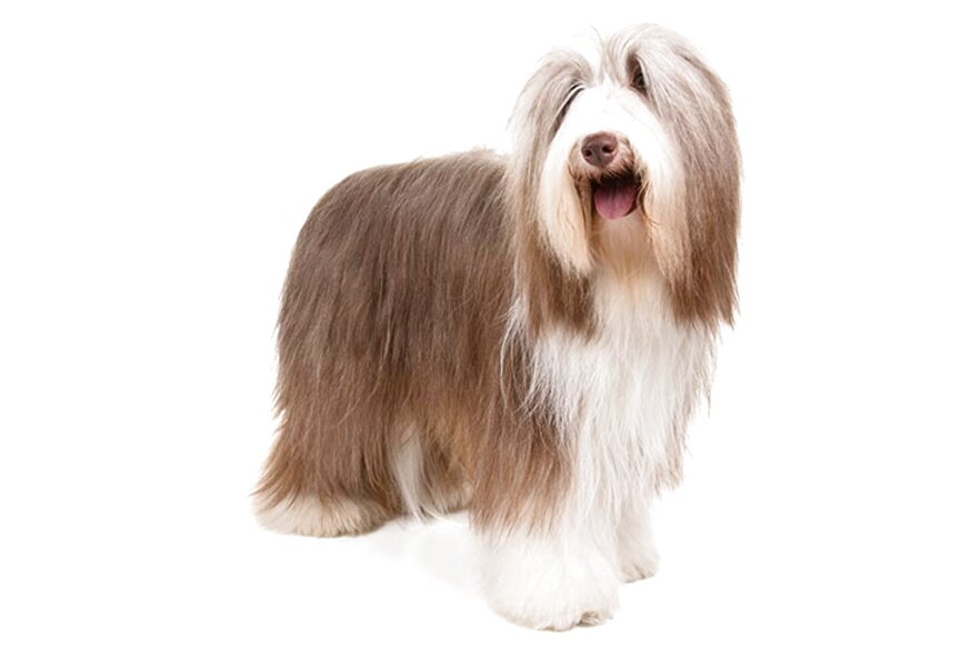 Bearded Collie for sale in UK | 26 used Bearded Collies