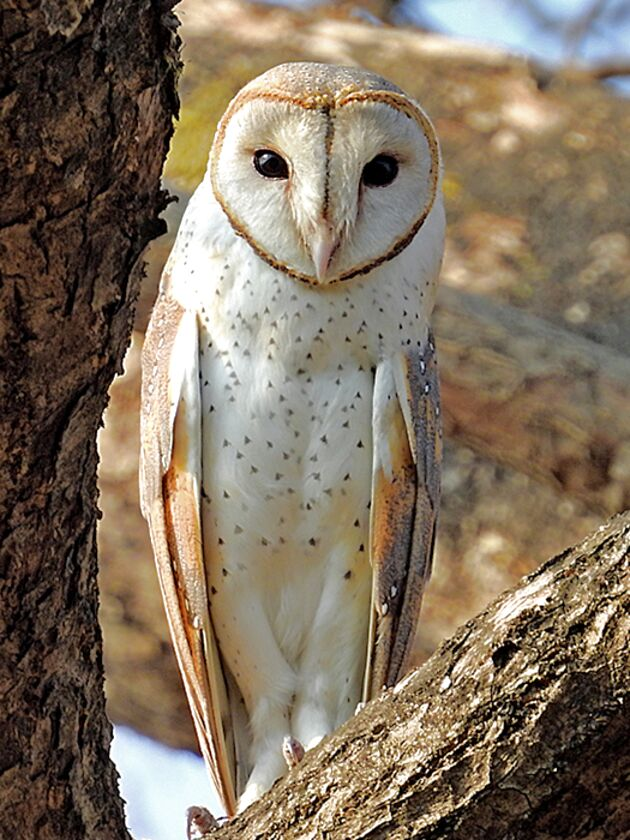 Owls for sale in UK | 97 second-hand Owls