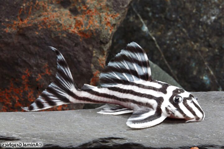 l46 zebra pleco for sale