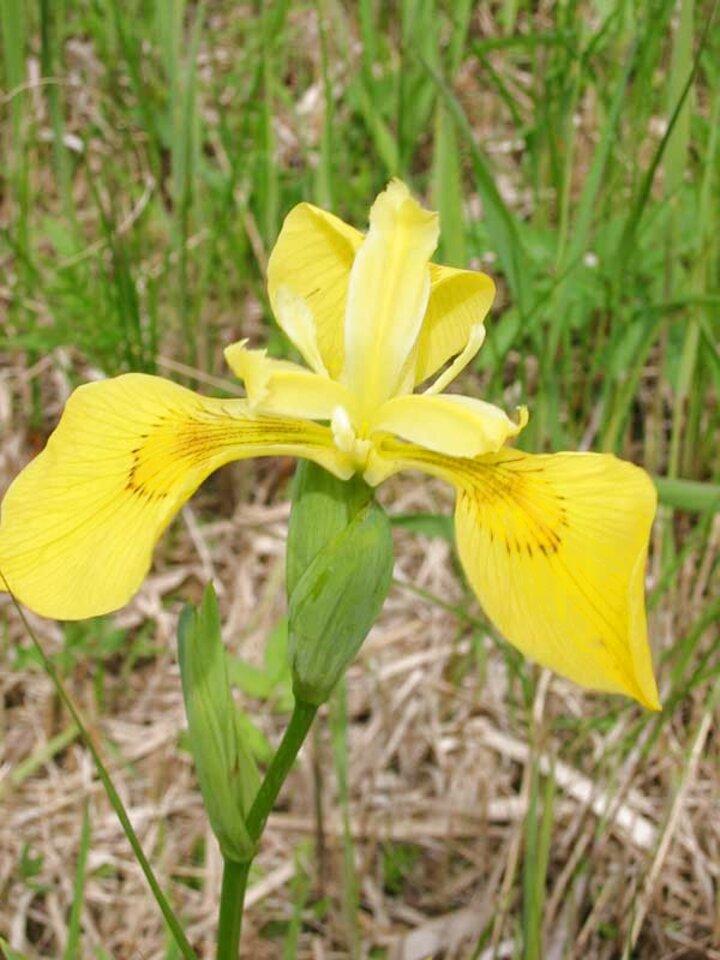 iris bulbs for sale