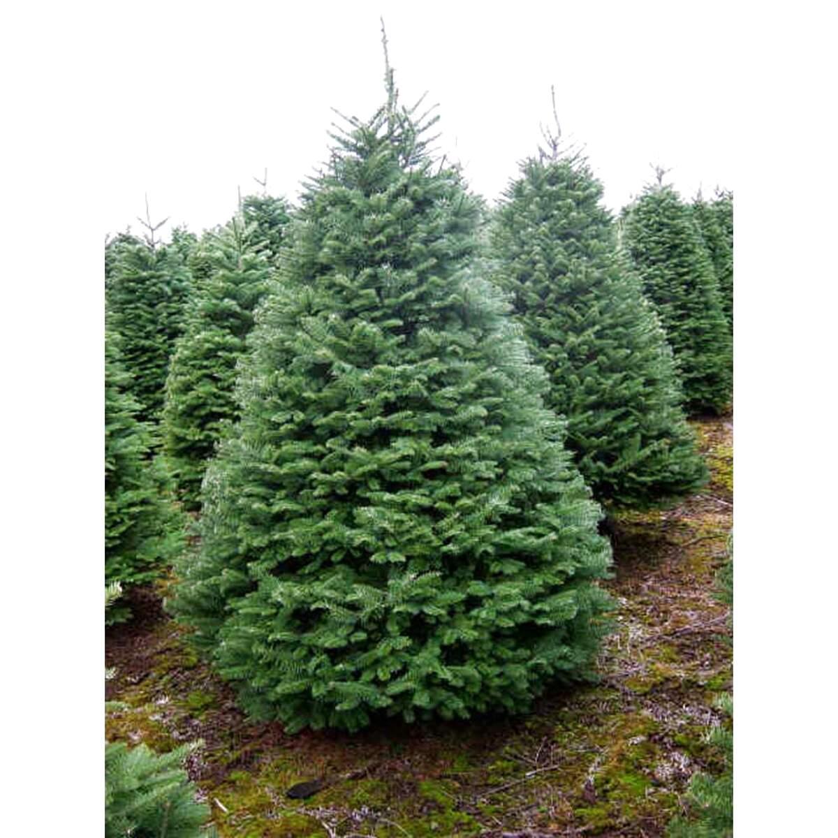 7ft Christmas Tree Tesco: 84 Second-hand Fir Trees