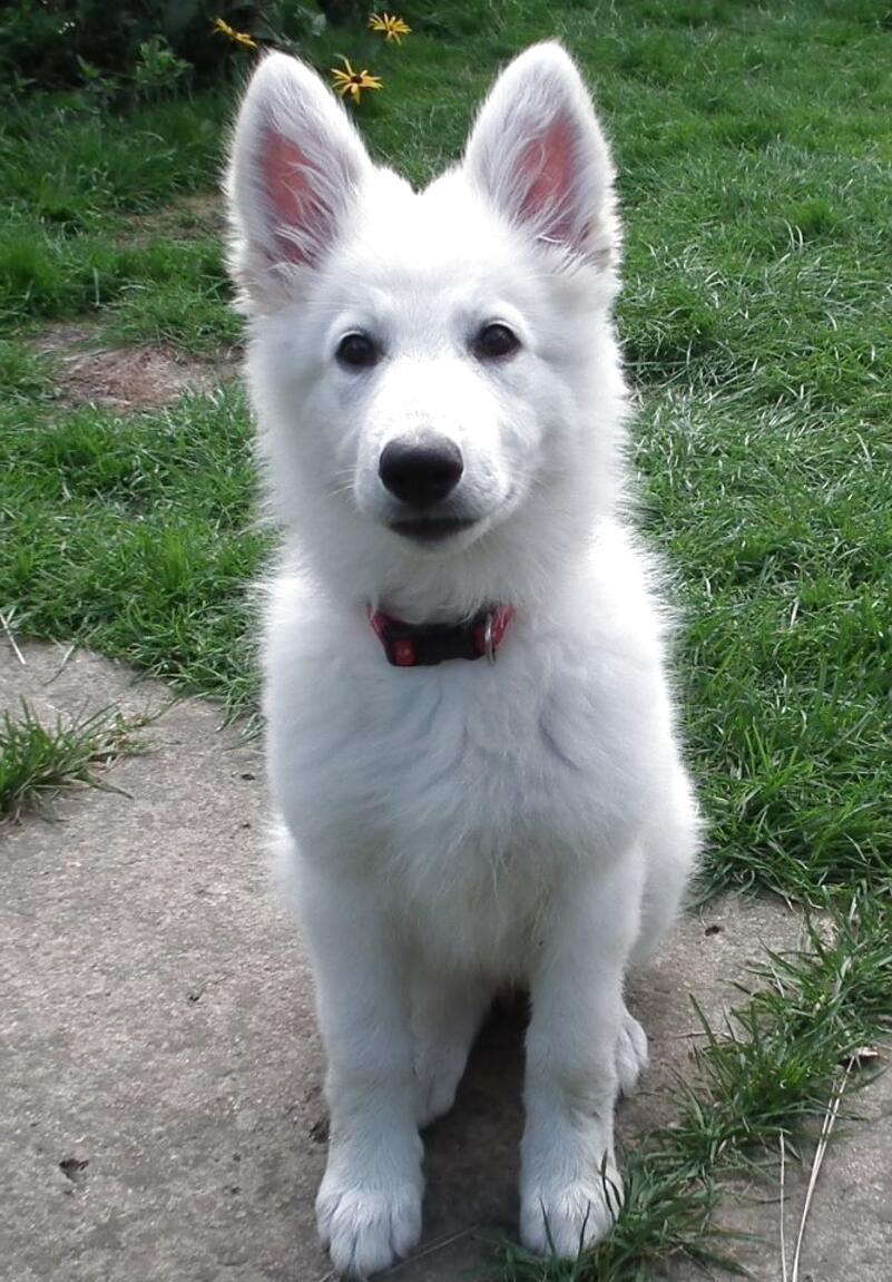 Best White German Shepherd Puppies For Sale Near Me In England UK