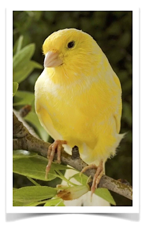 canary bird for sale