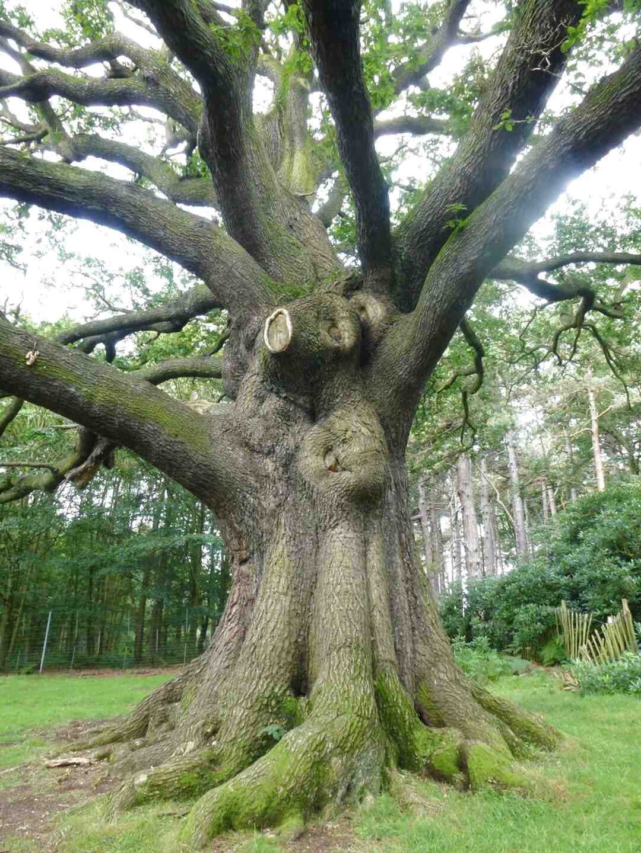 oak tree trunk for sale
