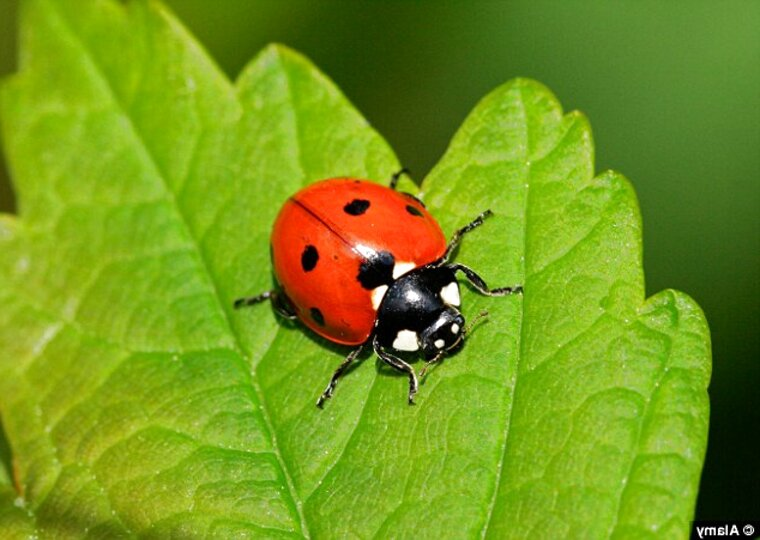 live ladybirds for sale