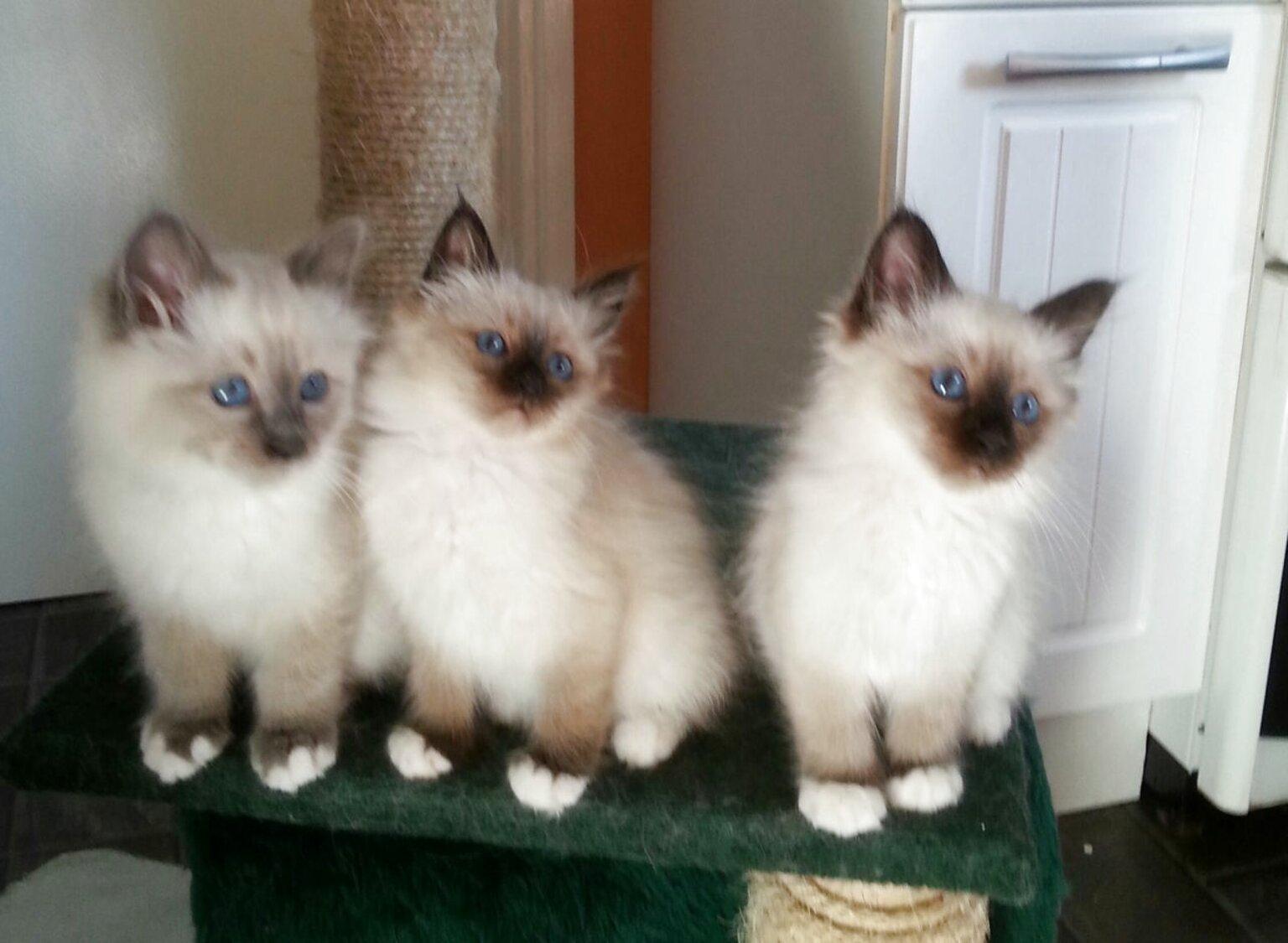 Birman Cat For Sale In Uk 64 Second Hand Birman Cats