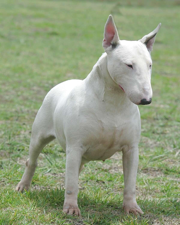 bullterrier bull terrier for sale