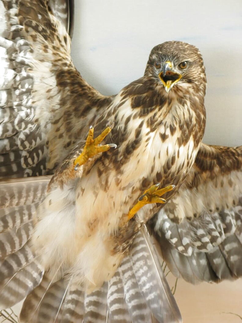 Taxidermy Birds Prey for sale in UK | View 45 bargains