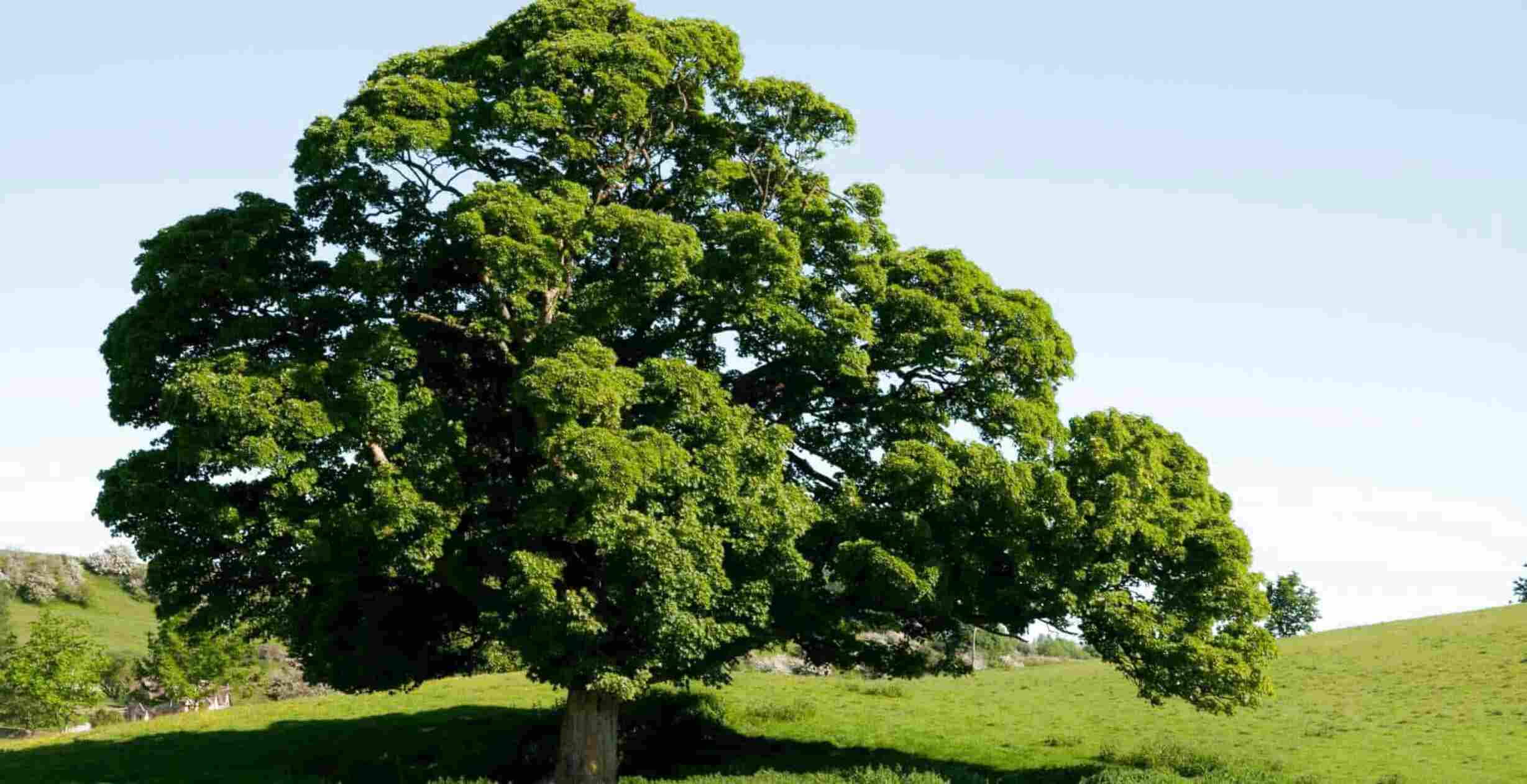 english oak tree for sale