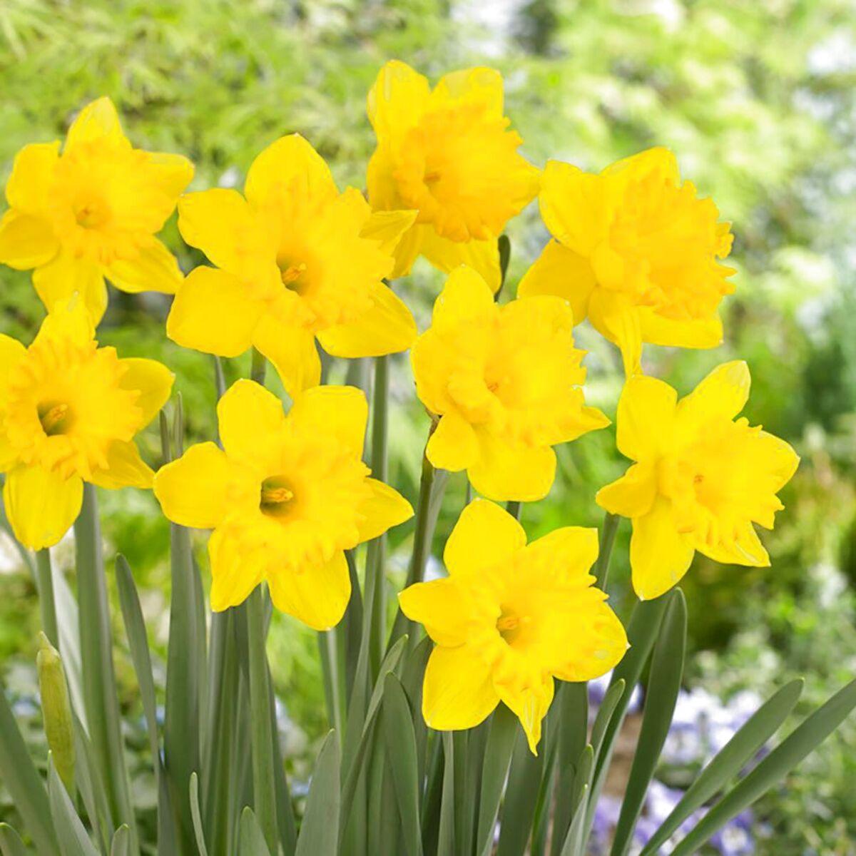 daffodil bulbs for sale