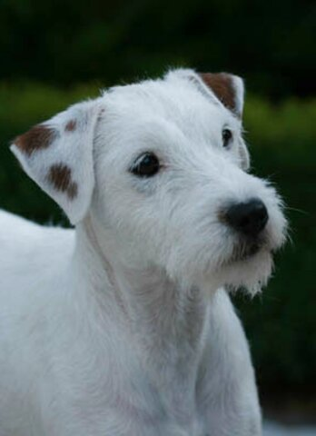 jack russell parsons for sale