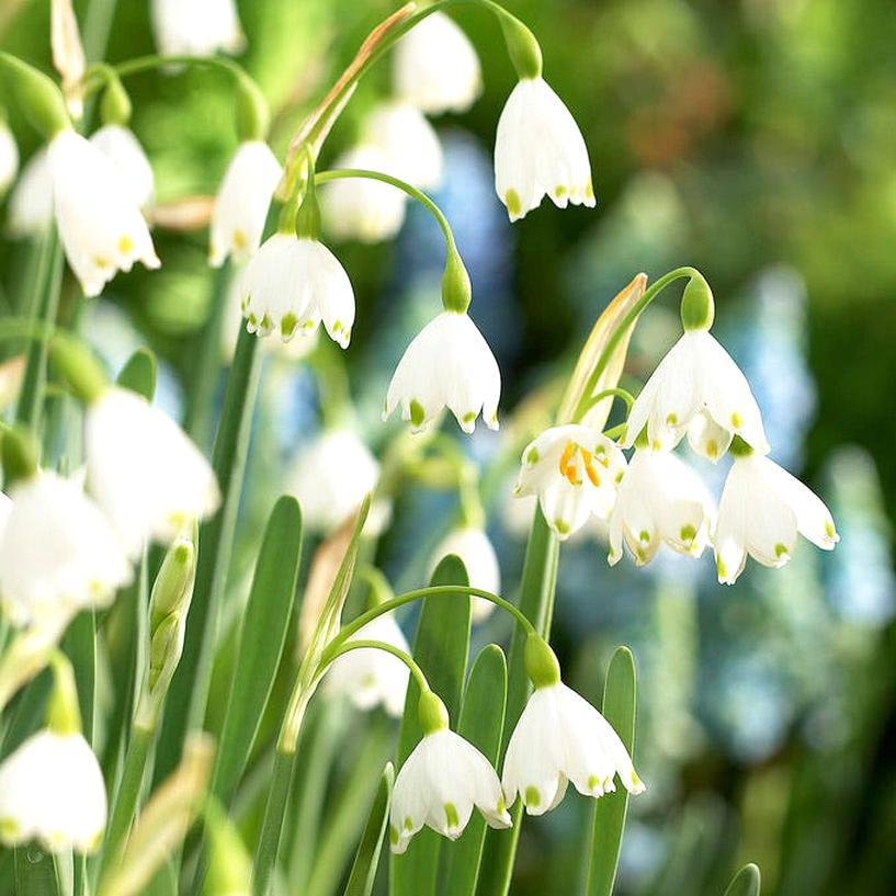 snowdrop bulbs for sale