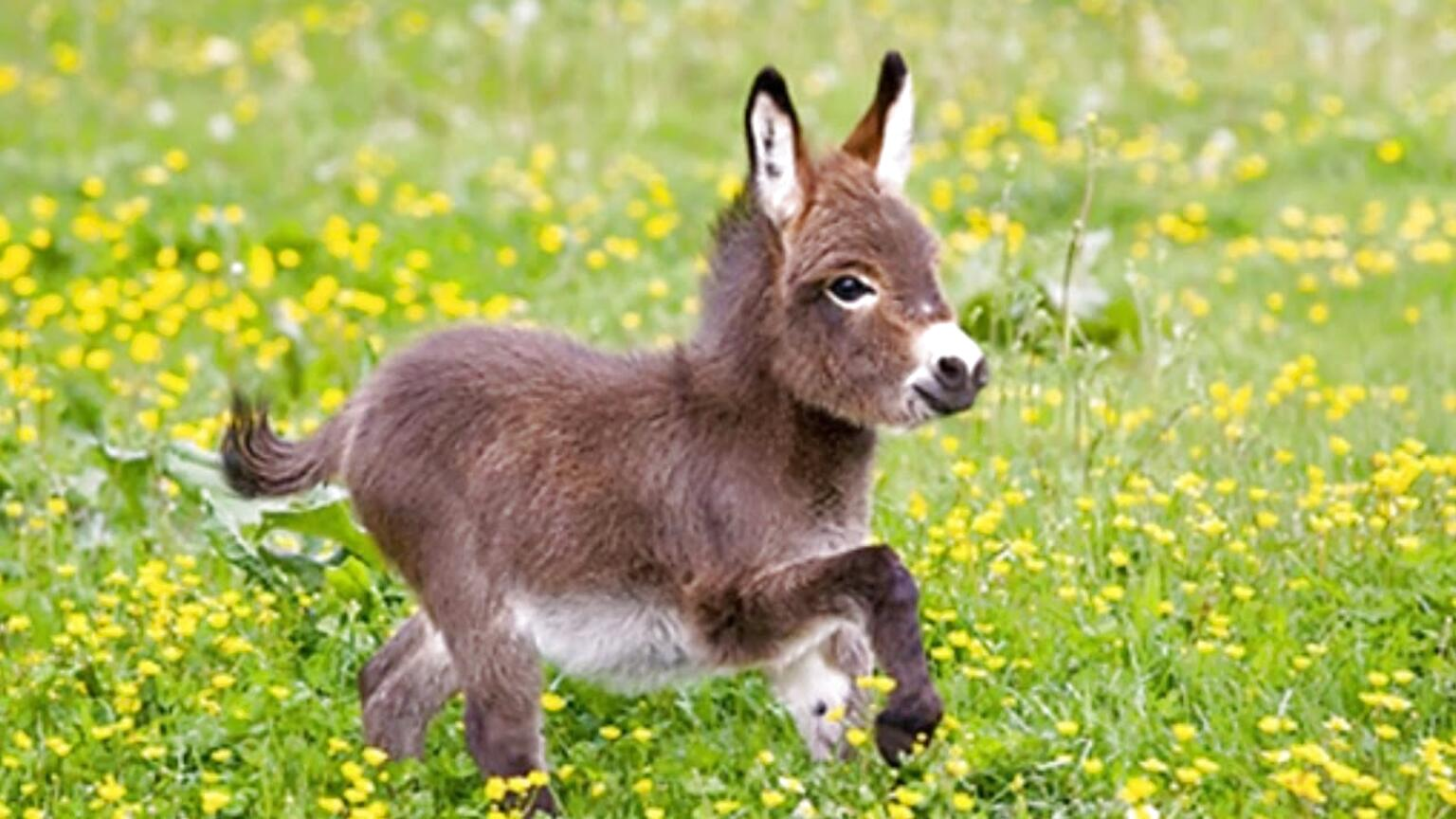 pet donkey for sale