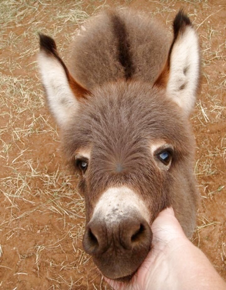 mini donkey for sale