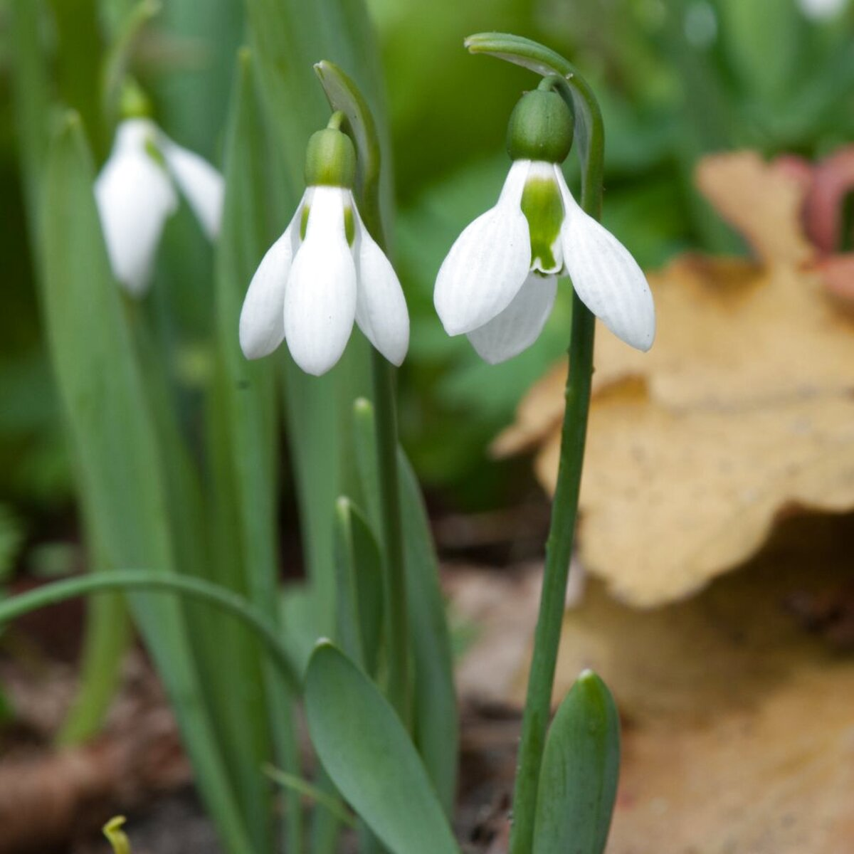 snow drop bulbs for sale