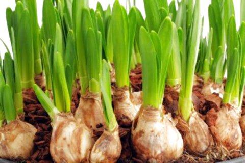 plant bulbs for sale
